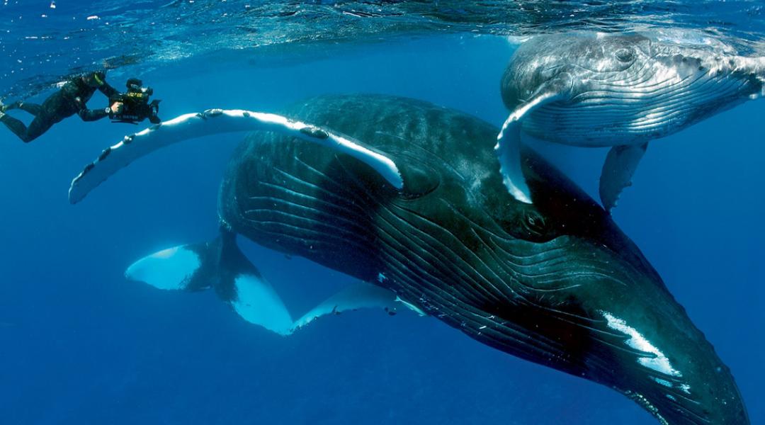 imagem-destacada-abrolhos-o-paraiso-das-baleias-jubarte